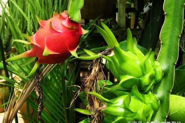 """花盆里撒""""种子"""",40天长成""""果树"""",到收获期,1次采摘20斤!"""