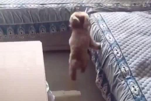 泰迪表演3步上沙发,主人看了瞬间愣住:这是传说中的轻功?