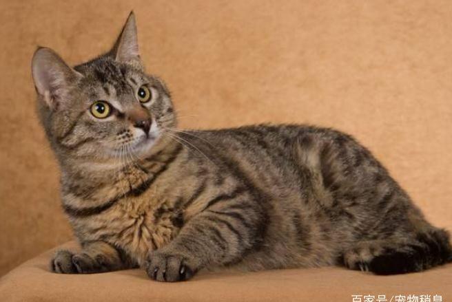 适合孩子喂养的5种猫咪,前两个是我国土猫,第四种很容易驯服!