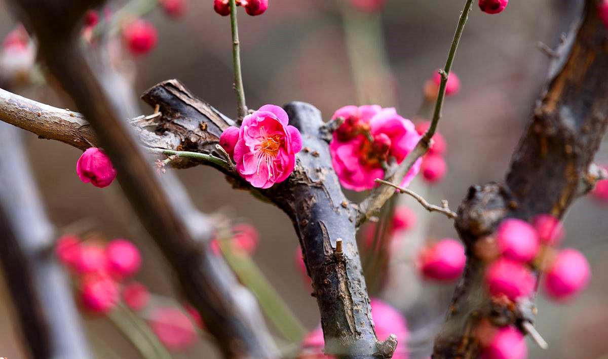 有梅花节的中国人_转载自百家号                       梅花,兰花,竹,菊花,被中国人