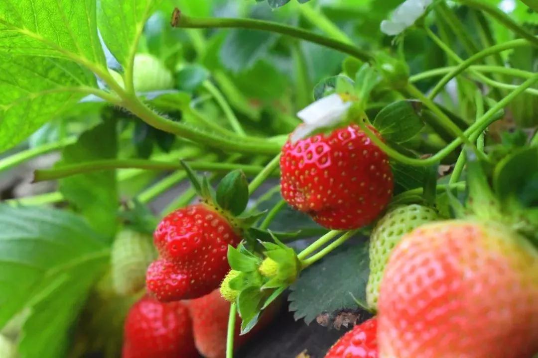 阳台盆栽草莓果实小口感差,那是你这点没做对,做对了