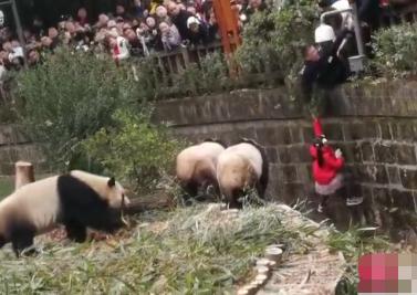 """小女孩掉进熊猫饲养池,4只熊猫上前""""围观"""",网友:太惊险"""