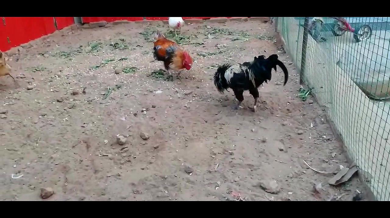 斗鸡争雄:公鸡对战盖莎,公鸡超常发挥,重腿踢晕盖莎