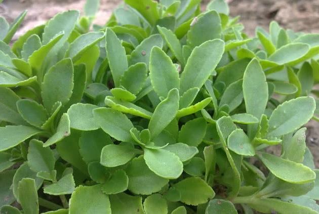 """一种野草人称""""救心菜"""",农村人见到就摘走,它珍贵能吃还是药材"""
