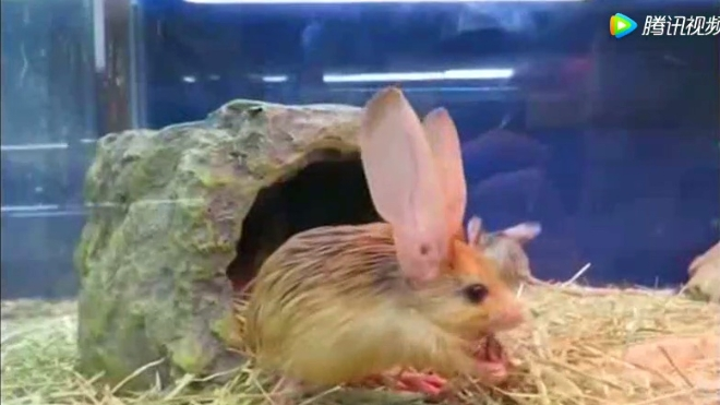 内蒙古沙漠中的长耳跳鼠!