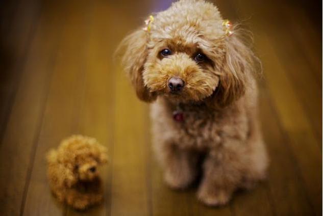 当泰迪犬出现这些迹象时,说明它的时间不多了!