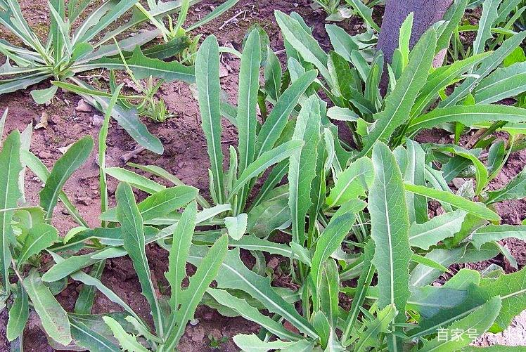 春天最好的排毒草,从前总是吃叶子,殊不知根的价值才最高