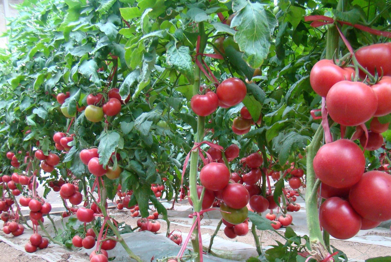 """西红柿常见,但是千万别跟这三种东西混着吃,容易""""中毒""""!"""