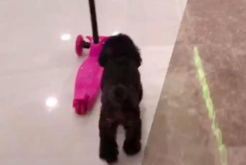 小泰迪玩滑板车,还会自己用脚蹬,网友:这不是狗,是狗精