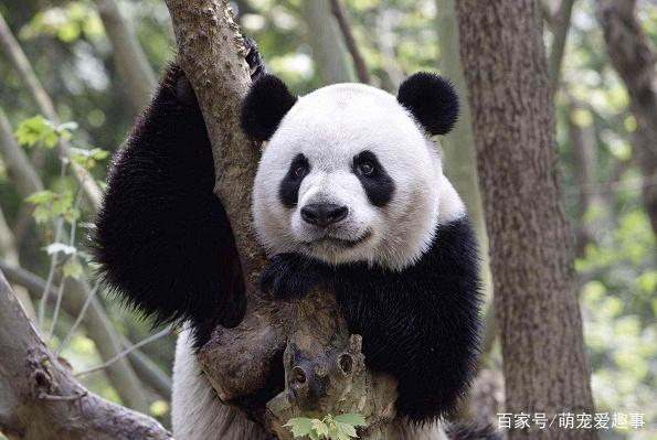 野生熊猫真实战斗力,熊猫战斗力到底有多强!