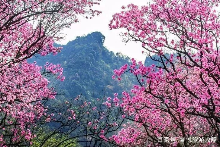 春天的绵阳藏了全国最大的粉色花海