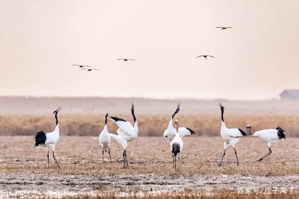 中国第54处世界遗产——江苏盐城保护区,追寻丹顶鹤的故事