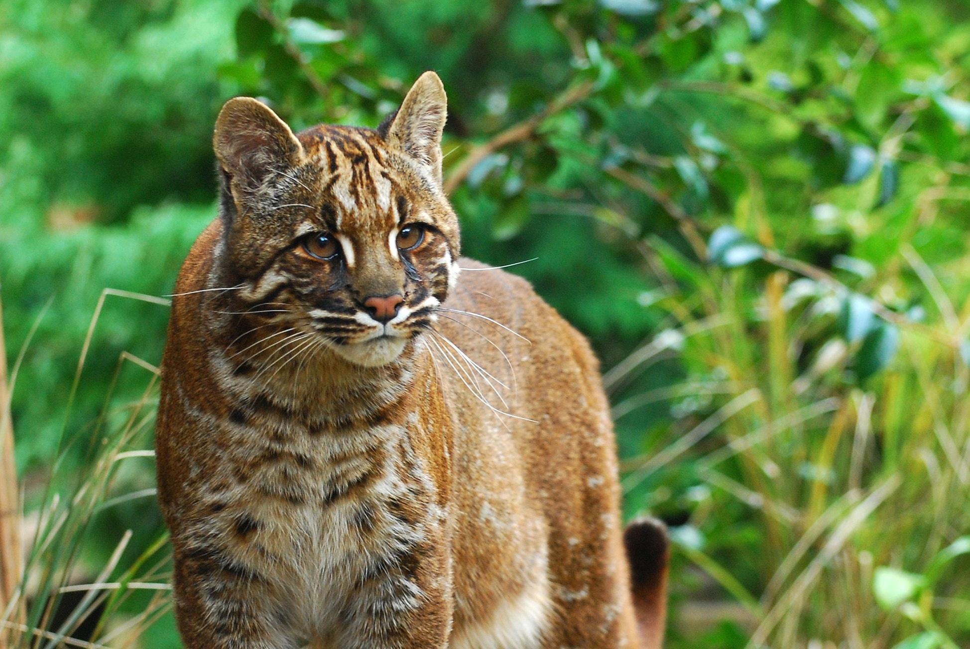 """别名带""""豹""""字的猫科动物:你知道美洲狮、金猫和石纹猫的别名吗"""