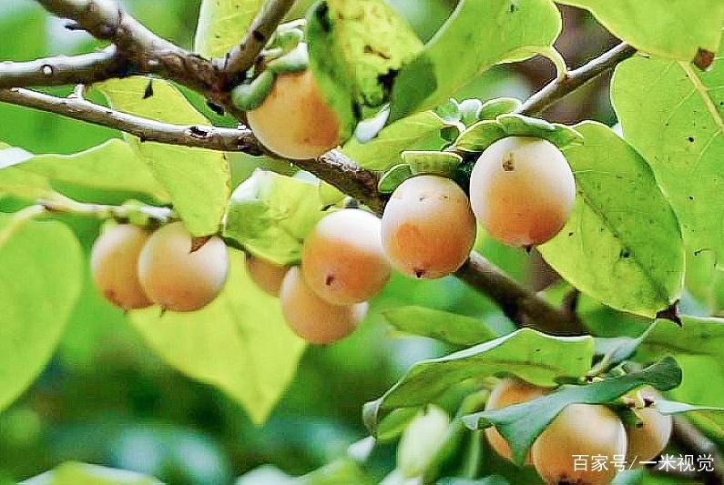 """1种野果人称""""肾果"""",新鲜时农民不卖,""""烂""""在树上收益翻倍"""