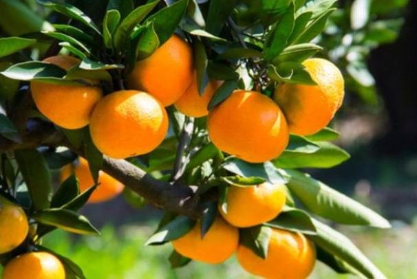 忠告:橘子不能与此物同食,吃了就是没病找病,还有人傻傻不清楚