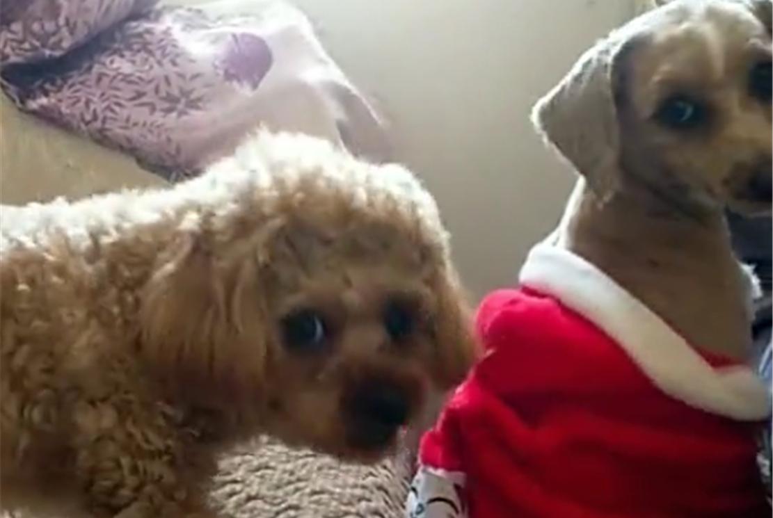 泰迪剃毛穿衣服,另一只泰迪妒忌撕咬衣服,狗:主人不公平……