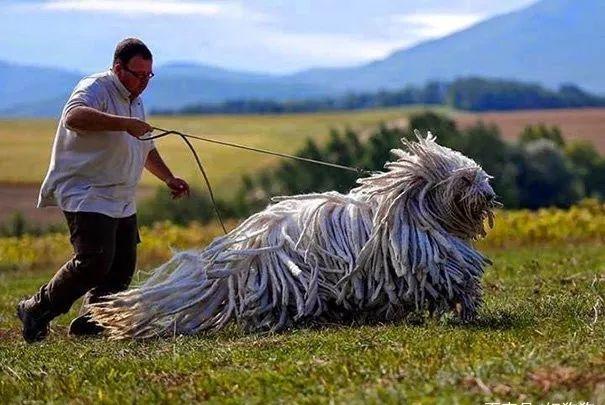 狗狗到底可以长多大,一起来开开眼吧!