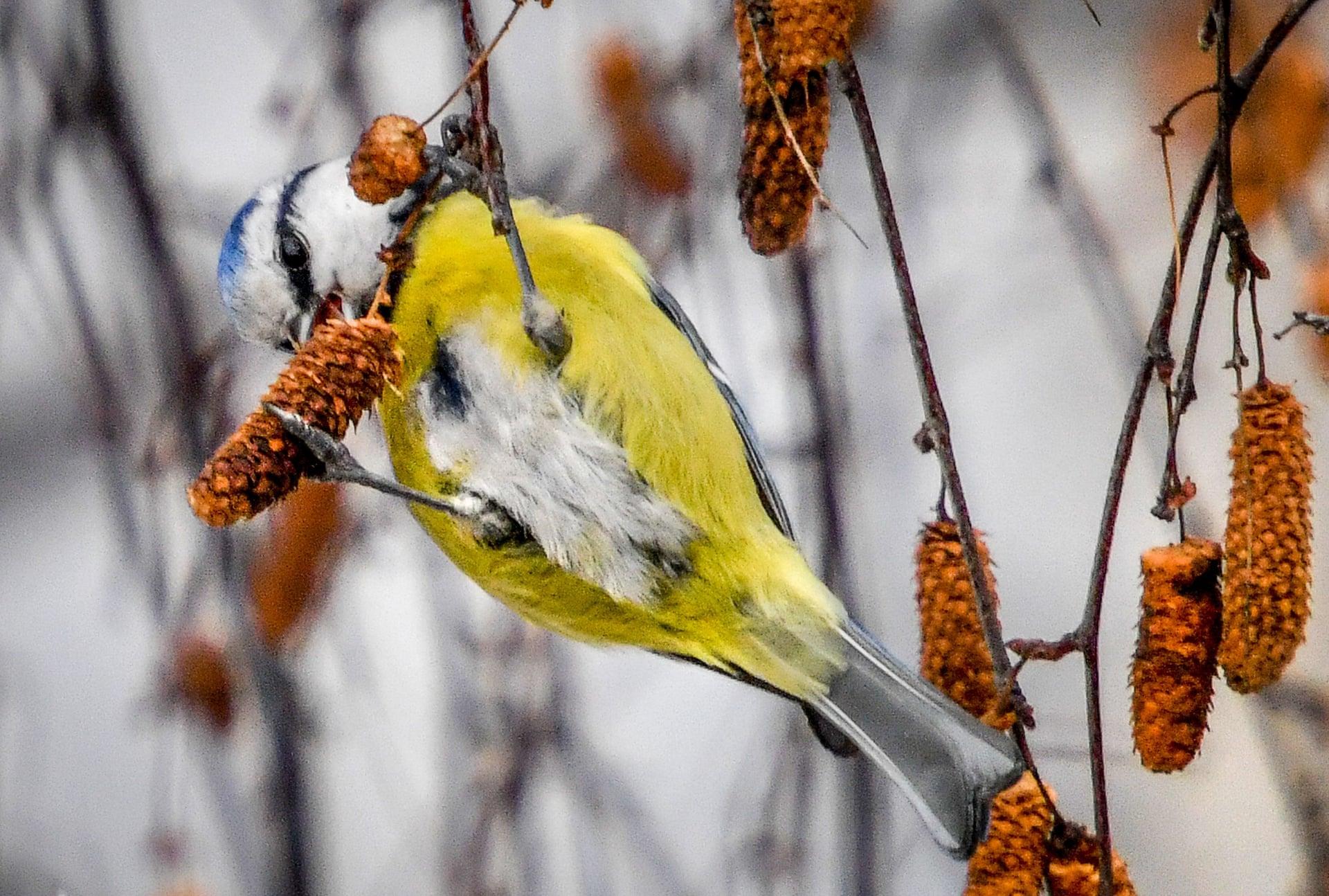 【俄罗斯莫斯科】枝头白桦,一只贵州雀吃的不亦乐乎贵州蓝山香猪在从江怎么样图片