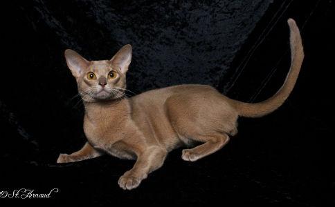 埃及法老守护神的原型动物——阿比西尼亚猫