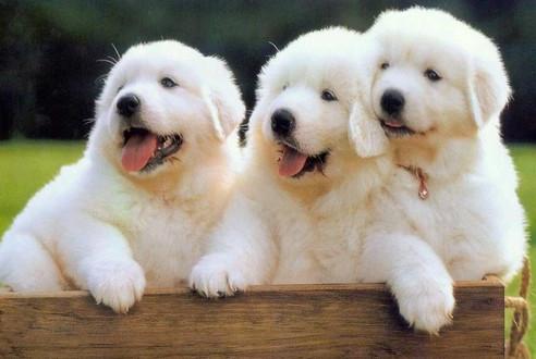 盘点5只体味最轻狗狗,第一名不仅无异味,还有淡淡体香!