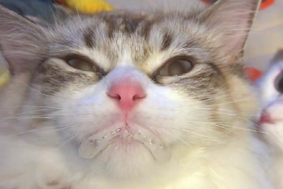 猫咪感冒吃双黄连片,苦到吐白沫,网友:自讨苦吃……