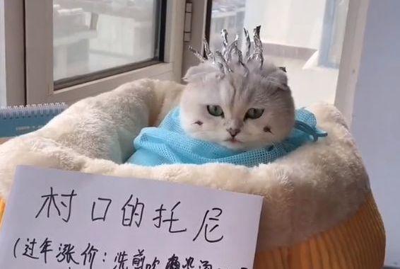 主人给猫咪做锡纸烫,还有模有样的,网友:这是要当渣男吗