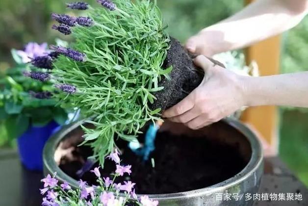 """气温回暖,家里""""蚊虫""""多?不如养2种花,能散发香味,驱蚊虫!"""