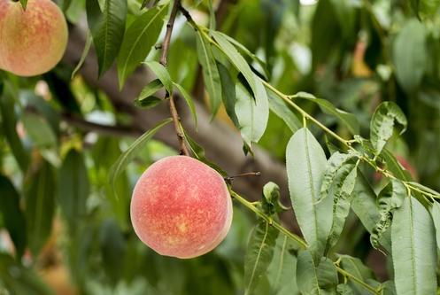 桃树施肥的三个步骤,一定要了解一下!