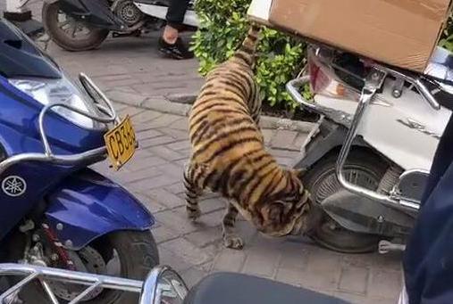 """路口遇到一只""""老虎"""",瞬间心慌慌,看到正脸后笑喷:谁家的狗?"""
