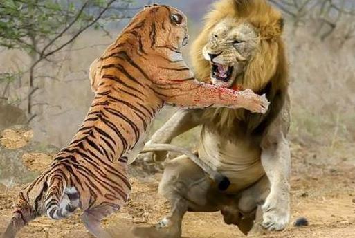烫头的干不过纹身的,狮子真打不过老虎吗?打斗技巧并非决定因素