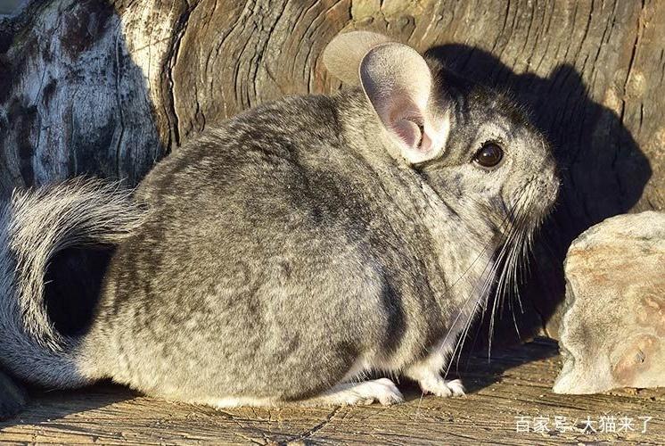这种动物叫猫非猫,却是猫科动物喜爱的猎物,因人类捕杀濒临灭绝