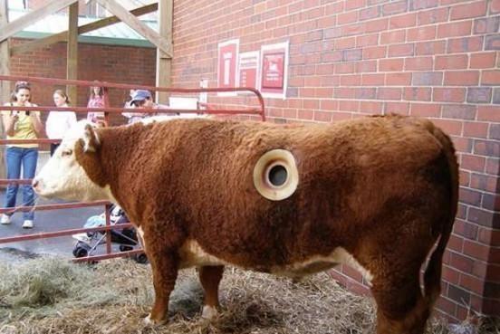 老牛吃了一塑料包,饲养员自己用手伸进牛胃里,把它抓了出来!