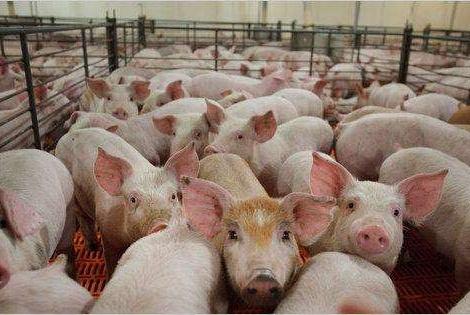 生猪供给收缩明确,进口量增加是否会弥补产能缺口,从而干扰猪价
