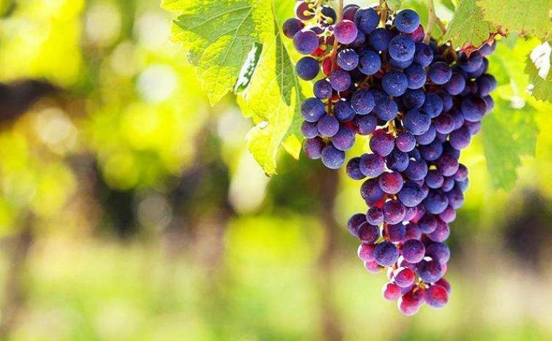 提子为何卖的比葡萄贵?看完这几个区别,以后知道该买