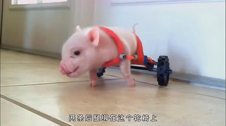 就是因为它让残疾的小猪又重新奔跑了起来!
