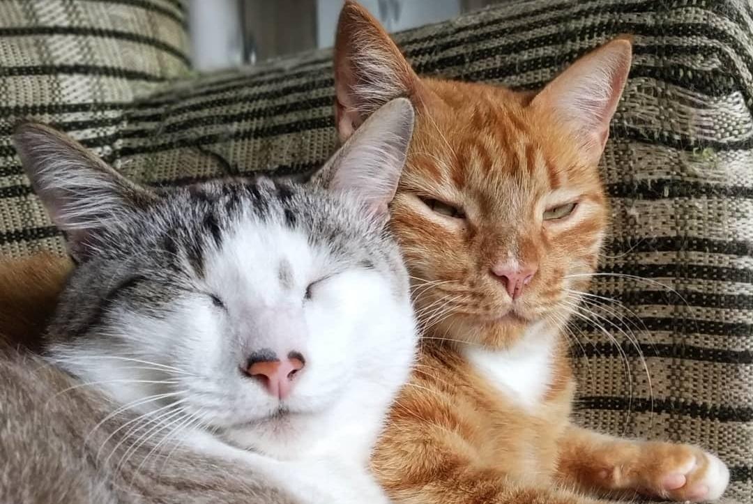 养了两只恩爱的猫情侣是一种怎样的体验?看看各种类型的猫情侣吧