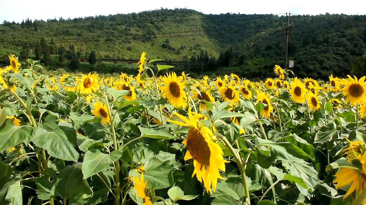 听向日葵花开的声音