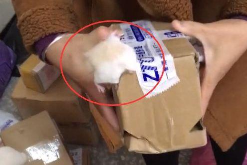 仓鼠中途钻出快递盒,真是难为快递员了,还要把它塞回去