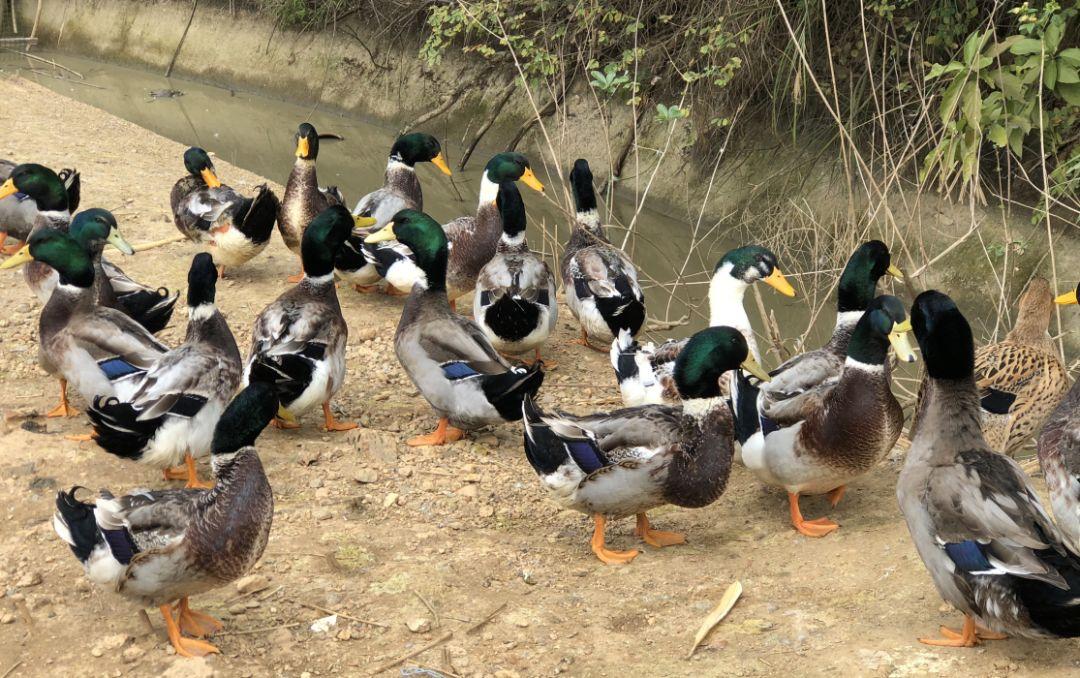 邱威禽苗品种青头鸭