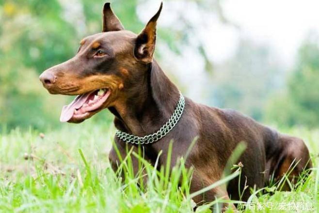 忠诚护主的5种狗,主人在它们眼里是最重要的,你喜欢它们吗?