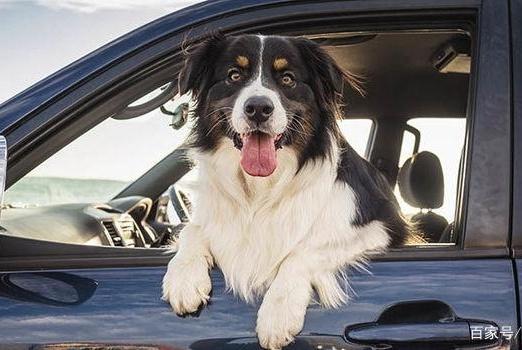 狗狗坐车的奇特姿势,总爱把头伸出去,为何它喜欢这种危险动作