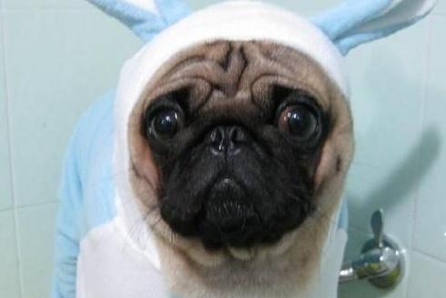 朋友送的八哥犬小时候娇小可爱,当看到它长大后,主人不淡定了