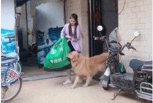 女主人提着一大包东西,金毛抢着来帮忙,狗:别动,让我来
