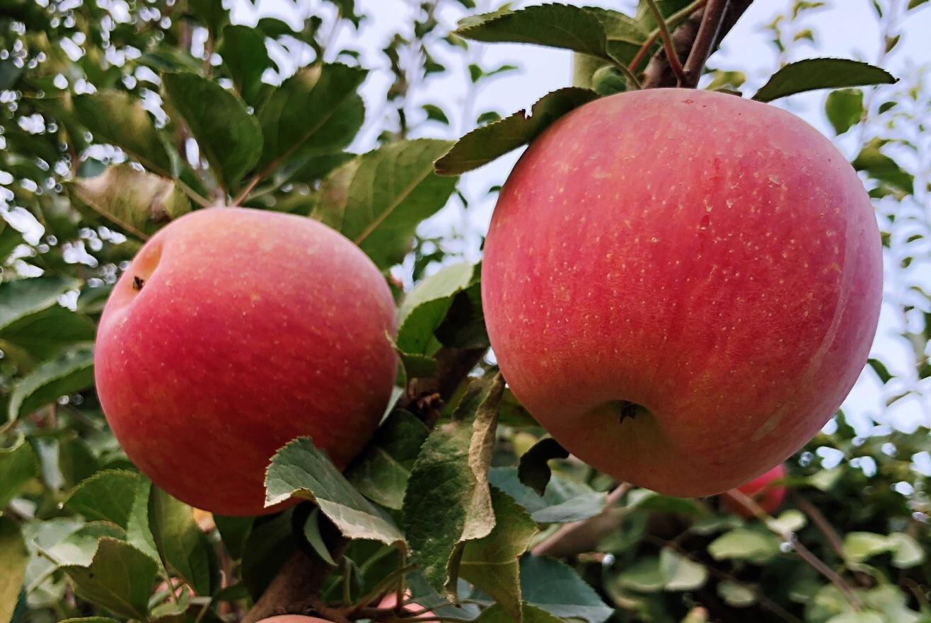 苹果煮熟吃,你试过吗?不仅营养更好,还能治宝宝腹泻