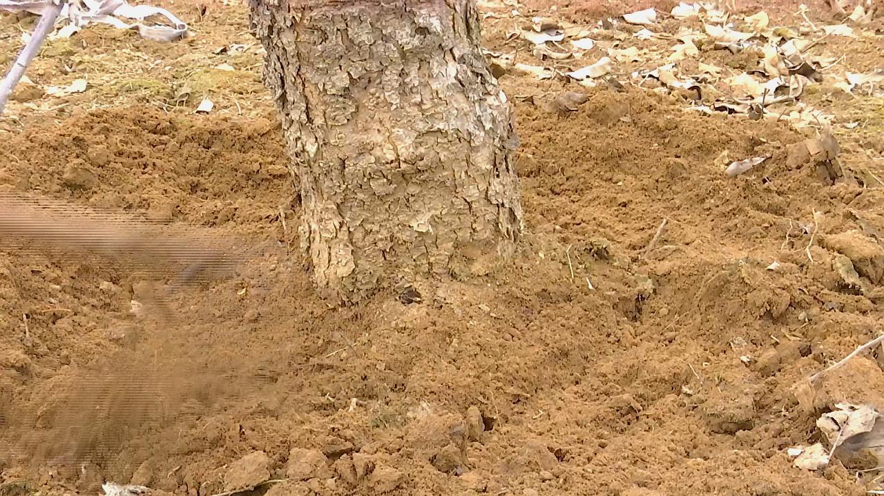 春季果树灌根有什么作用