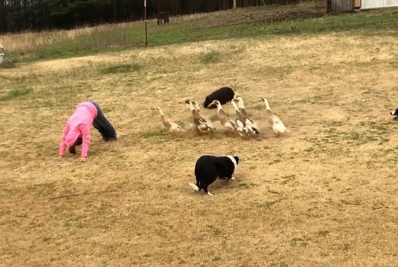 训练三只边牧来放牧鸭子……全程目瞪狗呆,这配合能力太强了!