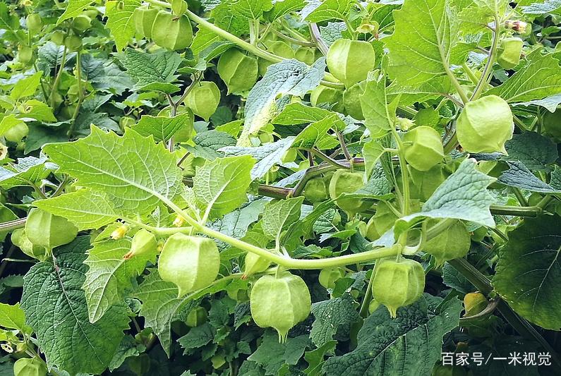 农村大叔不种生姜,改种路边黄色野果,一斤13元年入十万元