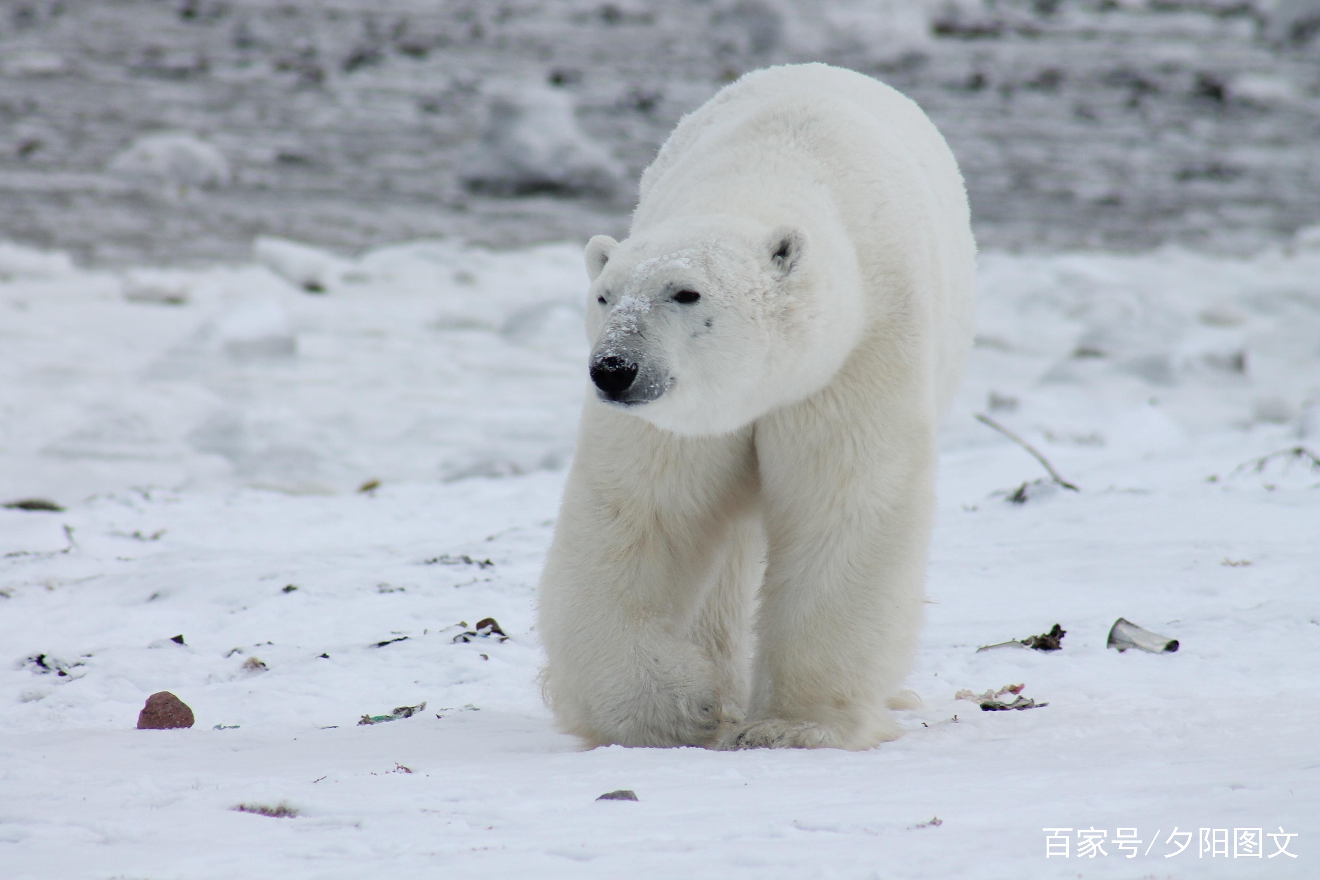 北极熊担忧狮子引人生存现状脸的电视剧叫什么名字图片