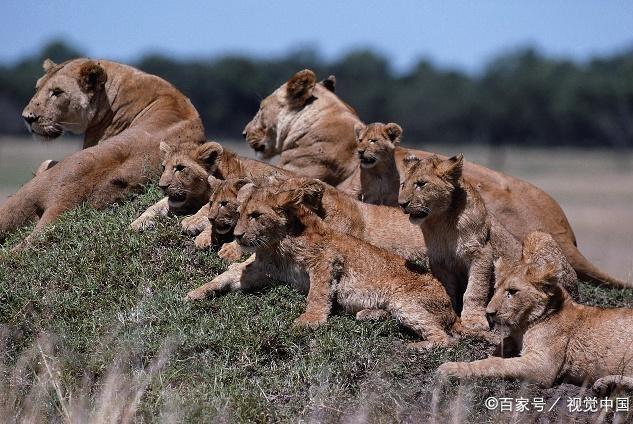 狮群中的母狮为何要同步产崽?看似很平常,实际上母狮却很用心