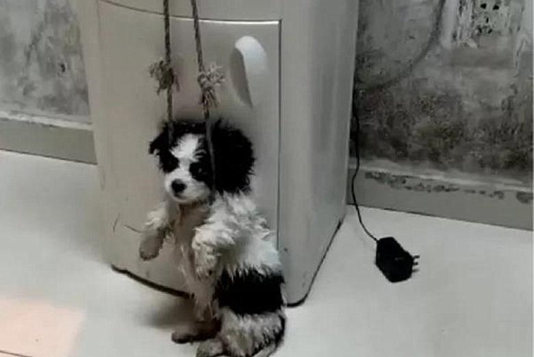 近日新闻曝光:狗主人每天勒住狗脖子吊在半空,给小狗做消食运动